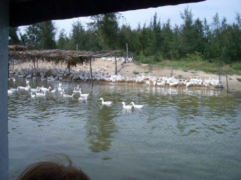 duck-farm
