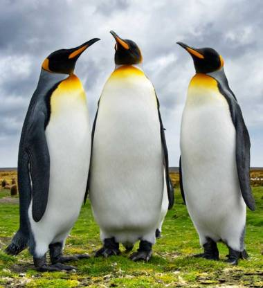 king-penguins-group