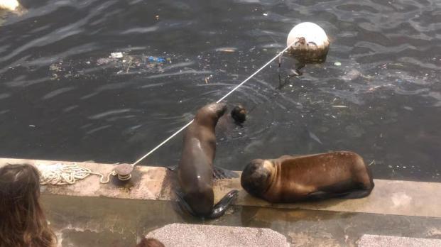 Mum & baby seal on dockside. PdEste