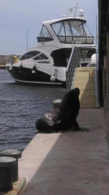 Seal on dockside Punta del Este