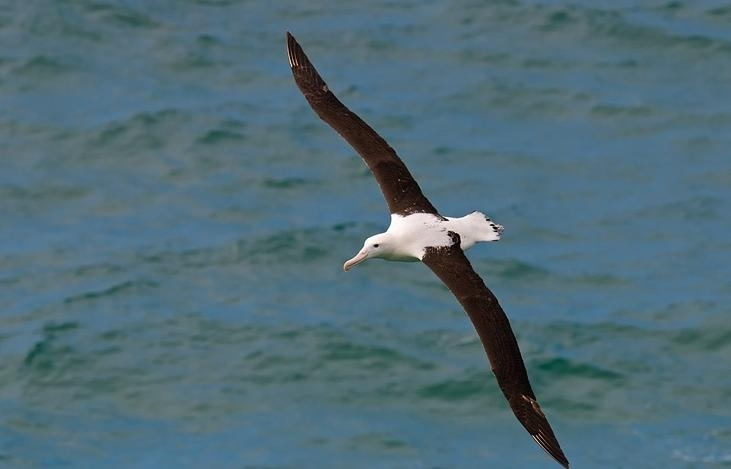 NZ_NorthernRoyalAlbatross01