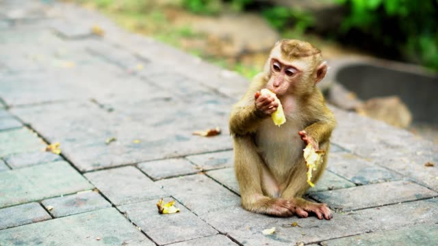 a small monkey eats bananas in a national park. Asian jungle with monkeys