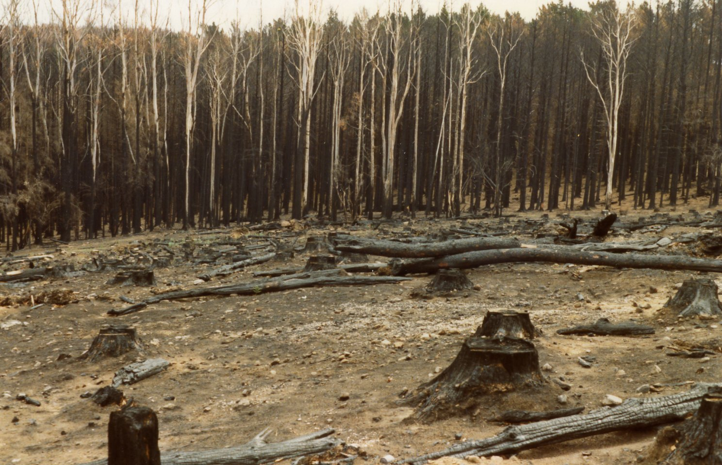 Burnt_pine_forest_at_Mount_Macedon_after_the_1983_Ash_Wednesday_bushfires