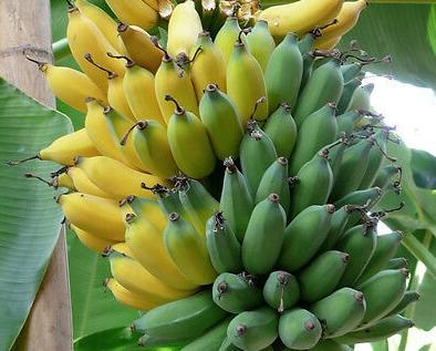 Musa-Ice-Cream-HARDY-BANANA-PLANT-Tasty-Fruit